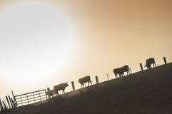 Bulls on a farm Stock Images