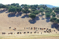 Bulls farm in Spain Stock Image