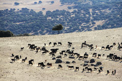 Bulls farm in Spain Stock Image