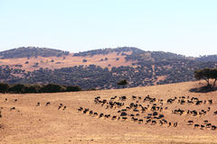 Bulls farm in Spain Stock Images