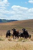 Bulls in field, Medina Sidonia, Spain. Stock Images