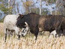 Bulls fighting Stock Photography