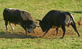 Bulls fighting on a meadow Royalty Free Stock Photos