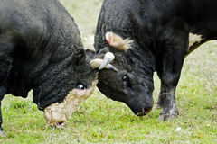 Bulls fighting on a meadow Royalty Free Stock Photography