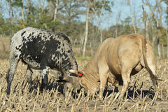 Bulls Fighting Royalty Free Stock Photos