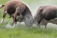 Bulls Fighting Stock Photos