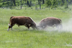Bulls Fighting Stock Images
