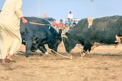 Bull fighting in Fujairah. Bulls are fighting in a traditional competition in Fujairah, UAE stock images