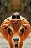 Bulls gorgeous coat Royalty Free Stock Image