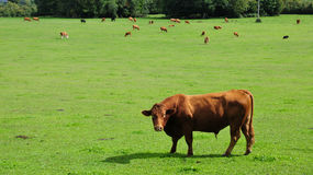 Bulls Grazing in a Green Field. Landscape View of Bulls Grazing in a Green Field in Rural England Royalty Free Stock Image