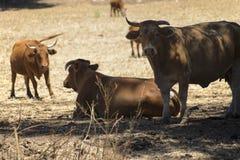 Bulls grazing on pasture Stock Photo