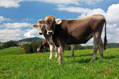 Bulls on green hill. Two bulls on green hill on summer day royalty free stock photo