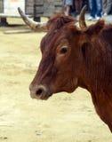 Bulls Head Stock Photos