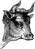 Bulls head Stock Images