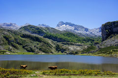 Bulls inthe mountains. Landscape with bulls, mountains and lake in spain. Covadonga lakes Stock Photos