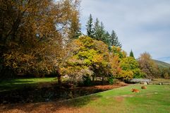 Bulls Laying in Grass in Colourful Park. Autumn scenery in Lamas de Mouro Stock Photos