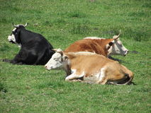 Bulls laying in the sunshine Royalty Free Stock Image