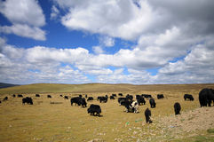 Bulls in a meadow. With beautiful sky and clouds Royalty Free Stock Photography