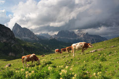 Bulls on meadow, Dolomites Royalty Free Stock Photos
