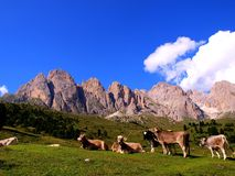 Bulls on meadow, Dolomites Stock Images