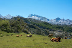 Bulls in the mountains. In Covadonga spain Royalty Free Stock Image