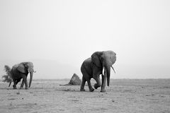 Bulls on the move black and white. Two African Elephant bulls walking across dry plain black and white Royalty Free Stock Photo