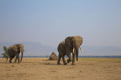 Bulls on the move. Two African Elephant bulls walking across dry plain Royalty Free Stock Photography