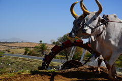 Bulls near a watermill. Near Udaipur. Rajasthan. India Royalty Free Stock Images
