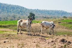 Bulls or Oxen. In the field used for ploughing and run bullock carts in India royalty free stock photo
