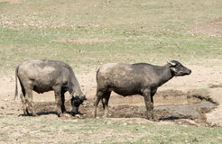 Bulls in puddle. Dirt wild bulls in puddle Stock Image