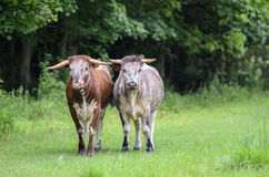 Bulls in the Rain. Two bulls standing side by side while it is raining Royalty Free Stock Photo