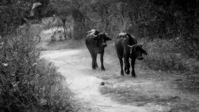 Bulls on the Road Royalty Free Stock Photo