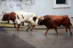 Bulls are running in street during festival. Royalty Free Stock Images
