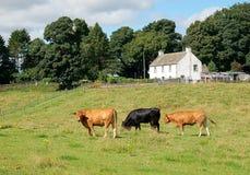 Bulls on a Scottish farm. Royalty Free Stock Photos