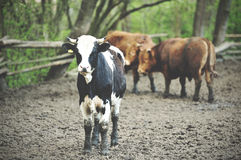 Bulls standing in the mud. Royalty Free Stock Photo