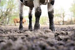 Bulls standing in the mud. Bulls standing in the mud on a cattle farm, Poland Stock Photo