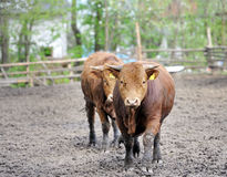 Bulls standing in the mud. Stock Photos