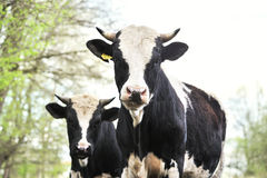 Bulls standing in the mud. Royalty Free Stock Photography