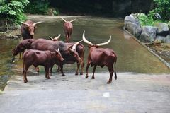 Bulls. From Taman Safari Park Indonesia, Cisarua, Bogor, Indonesia Stock Images
