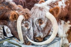 Bulls. Two bulls drinking water from an icy water trough Royalty Free Stock Photos