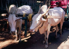 Bulls in vehicle. Two white bulls in vehicle. India, Goa Stock Photo