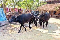 Bulls in the village near Chitwan National Park, Nepal Stock Image