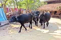 Bulls in the village near Chitwan National Park, Nepal Stock Image