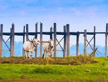 Bulls working in the field Stock Photography