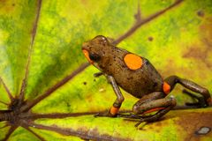 Bullseye poison dart frog, Oophaga histrionica. A poisonous dartfrog from the Choco rain forest in Colombia. Beautiful wild animal stock image