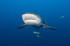 Bullshark approach Royalty Free Stock Photo