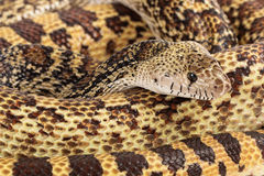 Bullsnake Closeup Royalty Free Stock Images
