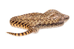 Bullsnake Coiled Royalty Free Stock Photo