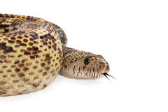 Bullsnake Cropped With Copy Space Royalty Free Stock Photography