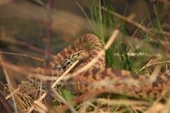 Bullsnake in Grass Stock Image